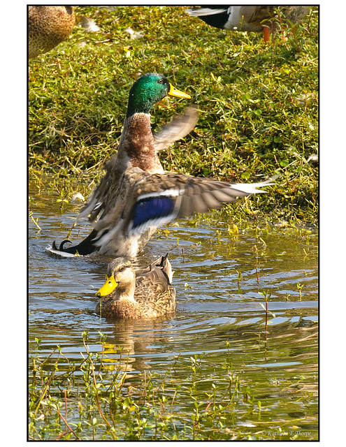 Mallard and Friend