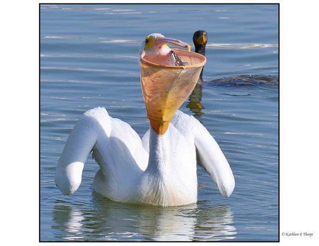 White Pelican and Catfish