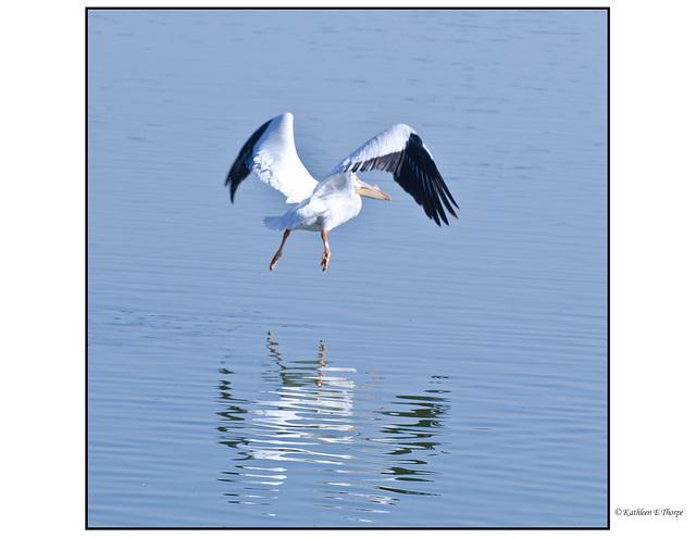 White Pelican Airborne