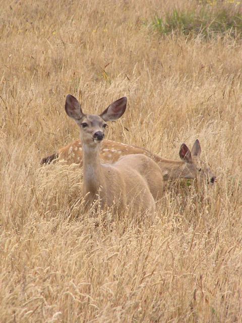 Tule Elk (p7071075)