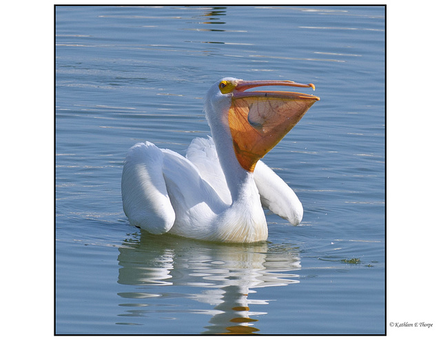 White Pelican Feeding - A whole catfish!!