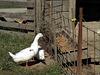 Opportunistic Ducks