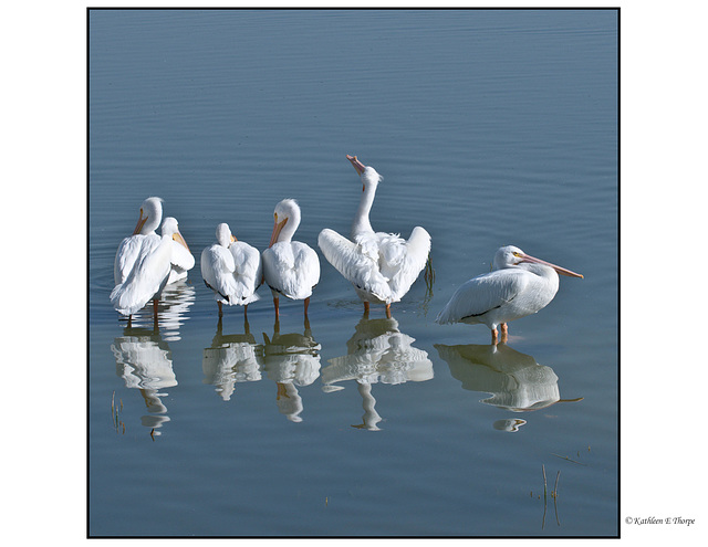 White Pelican First Line-up