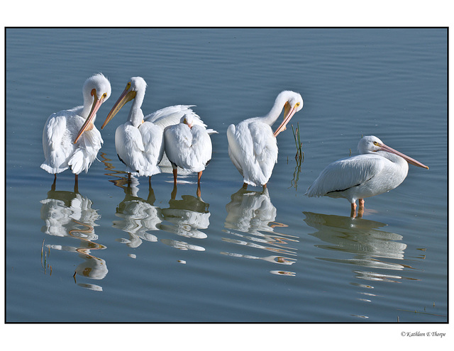 White Pelican Second Line-up