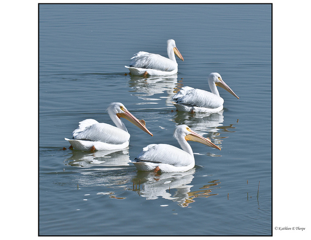 White Pelican Fishing Buddies