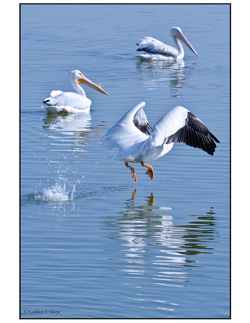 White Pelican Taking Off