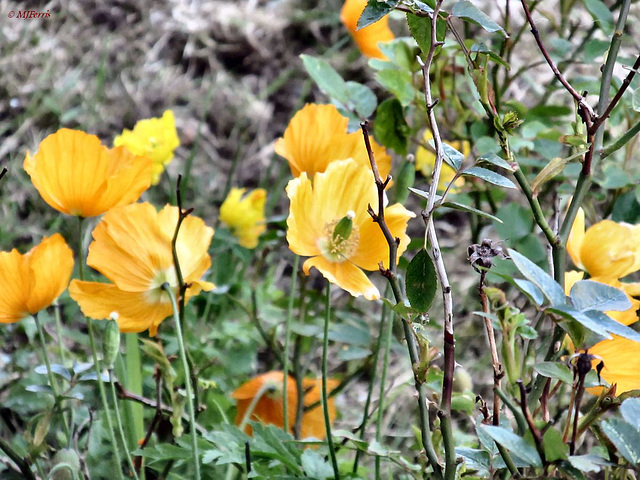 02 california poppies