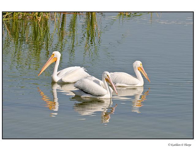 White Pelican Second Trio