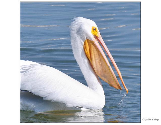 White Pelican Head Shot