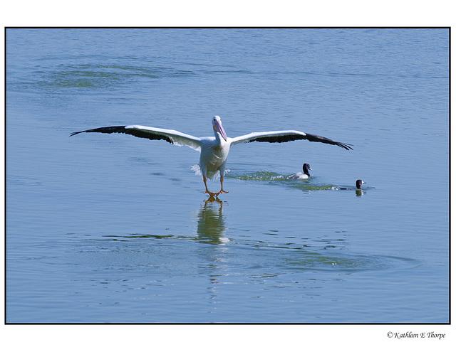White Pelican Second Landing