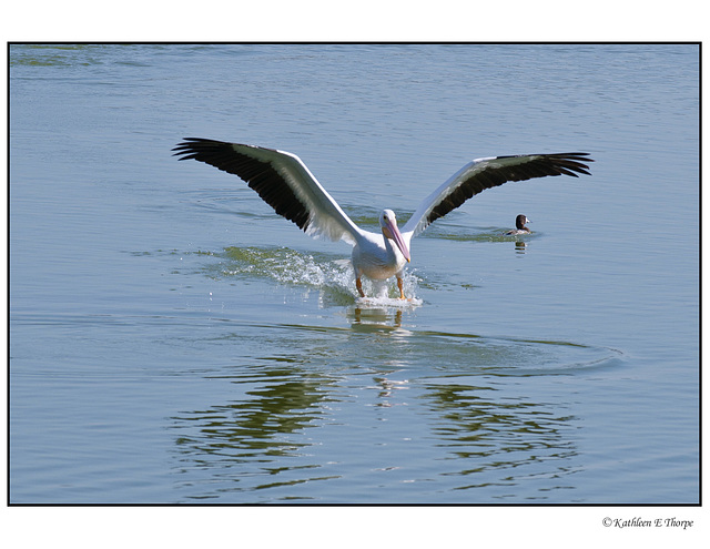 White Pelican Skidding to a Stop