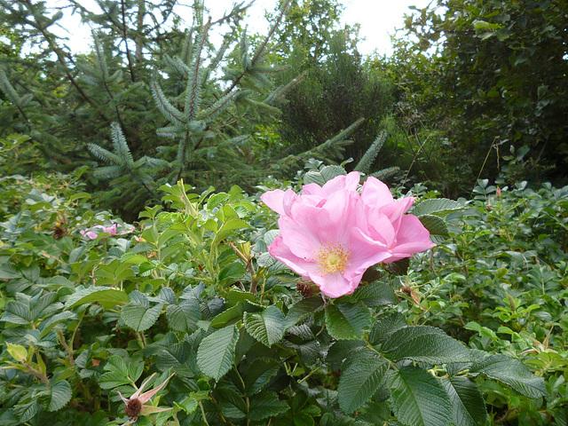 BM - eve - wild rose