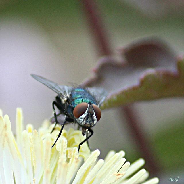 IMG 3458 macrofly
