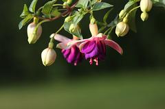 Fuchsia 'Eva Boerg'