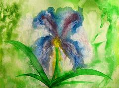 Wild Iris in the rain