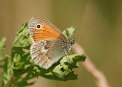 Small Heath (Coenonympha pamphilus) butterfly