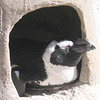 Pinguin beim abendlichen Sonnenbad (Wilhelma)