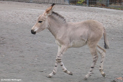 Somaliwildesel-Fohlen (Wilhelma)