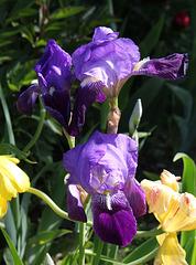Iris ancien 'germanica' - 'Amas'????