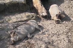 Warzenschweine (Wilhelma)