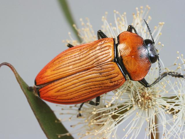 Temognatha wimmerae, PL1414