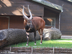 Bongo (Wilhelma)