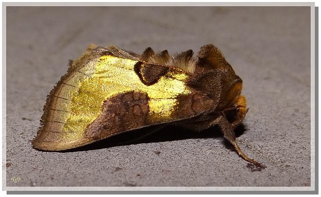 Diachrysia stenochrysis/chrysitis.