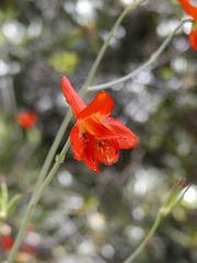 Red Larkspur (p5261275)