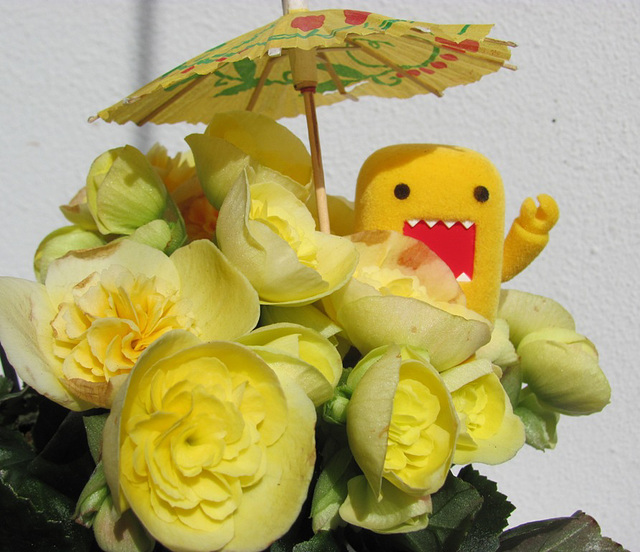 Domo and the begonia