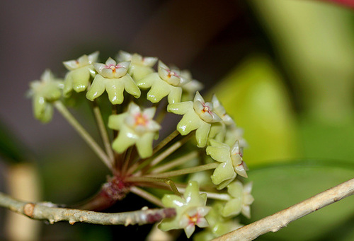 Hoya sp. affin parasitica