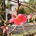 Prunus (p1072830)