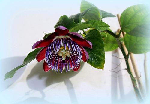 Passiflora quadrangularis -001