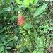 Aug  2009 - Ginger Plant