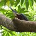Martin-pêcheur géant (Megaceryle maxima)