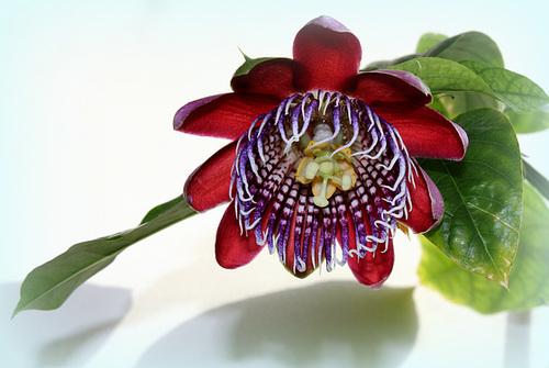 Passiflora quadrangularis -002