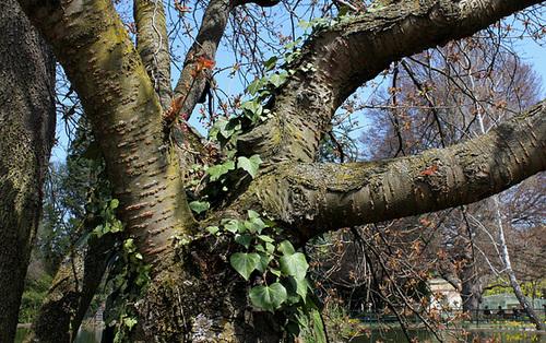 Attachement- Prunus serrula 'Kansan '