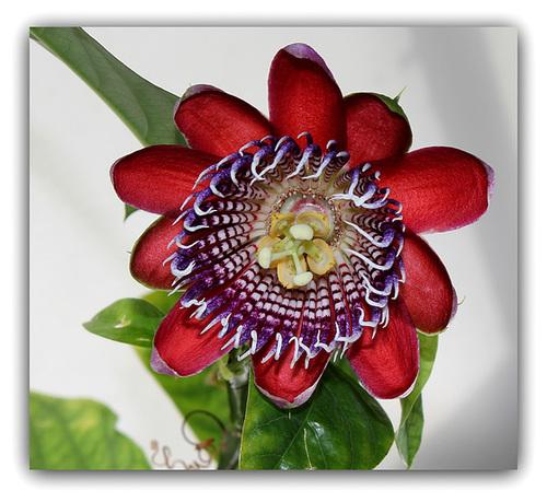 Passiflora quadrangularis -003