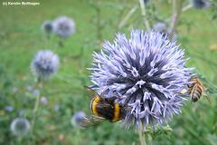 Biene und Hummel auf einer Kugeldistel (Heidelberg)