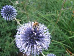Biene auf einer Kugeldistel (Heidelberg)