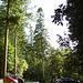 gbw - tall trees