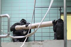Mutter und Tochter Gorilla (Wilhelma)