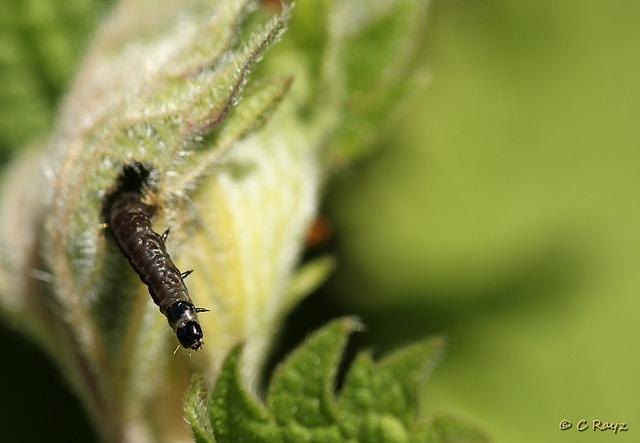 Caterpillar Peek a Boo