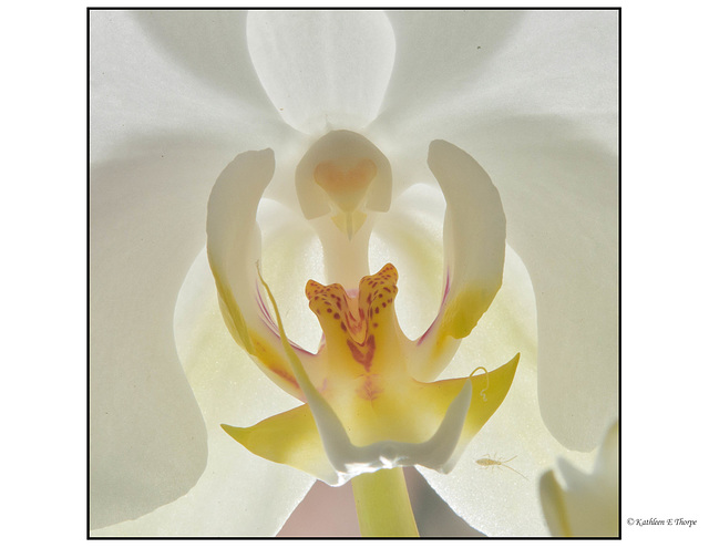 High Key Orchid