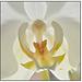 High Key Orchid