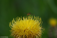 Großköpfige Flockenblume und Schwebfliege (Wilhelma)