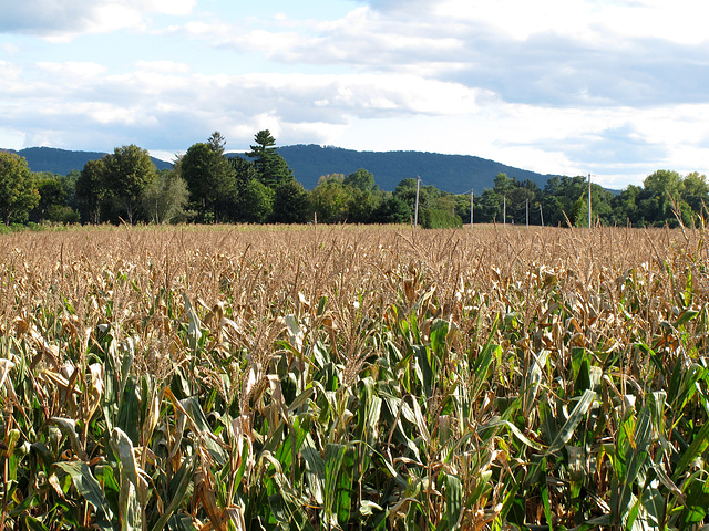 Corn in the Valley