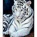 White Tiger Relaxing 001