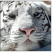White Tiger - The Eyes of the Tiger