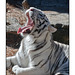 White Tiger Yawning 001