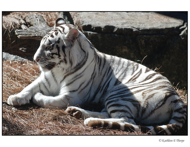White Tiger Relaxing 002